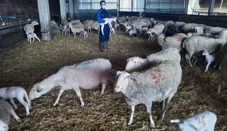 Un productor d'oví en una explotació d'Alcarràs.