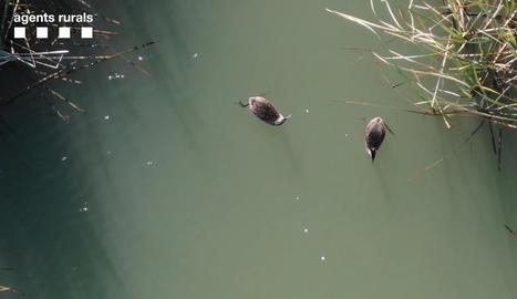 Un dron dels Rurals va sobrevolar l'estany d'Ivars i Vila-sana la setmana passada.