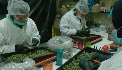 Un laboratori en el qual es treballa amb cànnabis amb finalitats terapèutiques.
