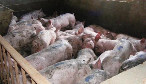 Detingut un veí de Torregrossa per robar 273 porcs de tres granges