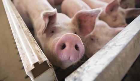 El sector porcí es manté en alerta màxima en matèria sanitària.