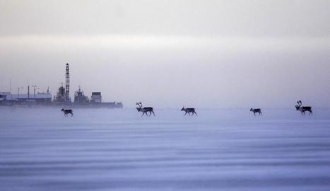 A Anchorage la fauna autòctona s'atansa a la ciutat.