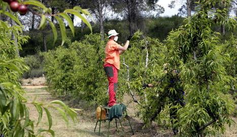 Imatge de tasques d'aclarida de fruiters a finals d'abril en una finca d'Alcarràs.