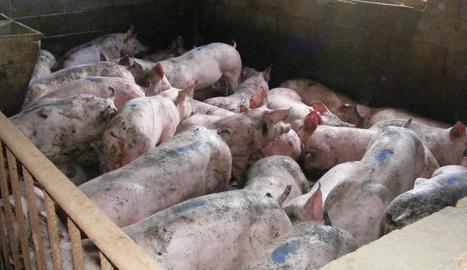 Imatge d'alguns dels porcs robats que van ser trobats a la granja del detingut.