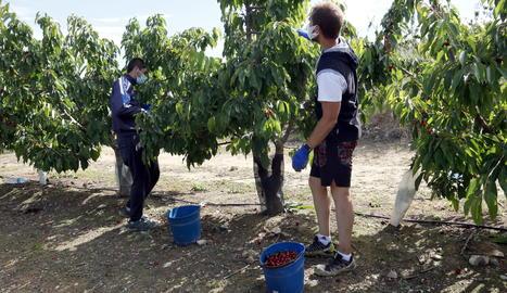 Joves provinents de la Vall de Boí i les Garrigues que s'han quedat sense feina pel coronavirus, treballen recollint cireres en una explotació de Seròs.