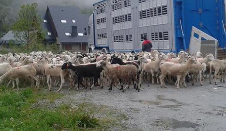 Foto d'arxiu de l'arribada de bestiar per reagrupar-lo.