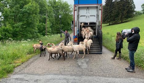 L'arribada dels primers ramats propietat de divuit ramaders que pasturaran a Casau protegits de l'ós aquest estiu.