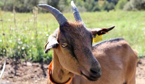 Aquest és el formatge tendre de cabra solidari amb la ramaderia catalana