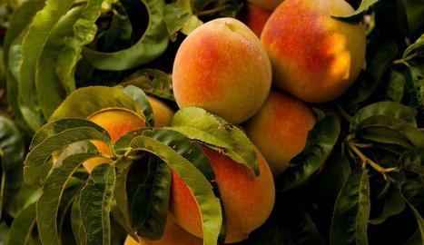 Preveuen un 18,7% menys de producció de préssec i nectarina a Lleida