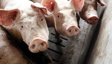 Imatge d'animals en una de les granges de porcí d'Alcarràs.