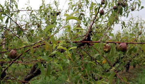 La pedregada d'aquest dimecres a Lleida ha afectat més de 13.000 hectàrees de conreu