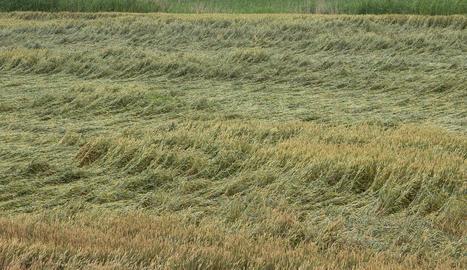 Cereals tombats per efecte de la pluja i el granís en una finca de Bellpuig.