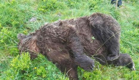 El cadàver de l'ós trobat mort a trets a l'Arieja.