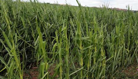 Danys de fins el 100% en fruita de pinyol al Segrià per la pedregada d'ahir