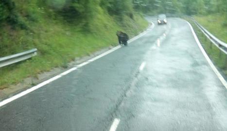 L'ós a l'L-503 a prop de Molinos, fotografiat des d'un cotxe.