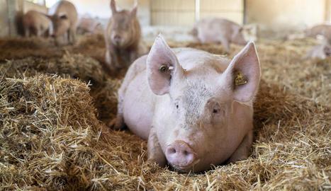 El sector porcí també aposta per la producció ecològica.
