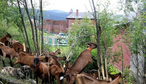 Algunes de les cabres utilitzades per a l'estassada.
