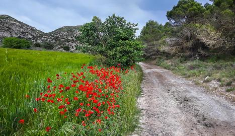 El camp reverdeja tacat de roselles a Algerri.