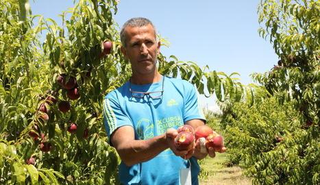 Un agricultor d'Alcarràs mostra fruita destrossada per l'última gran tempesta de pedra.