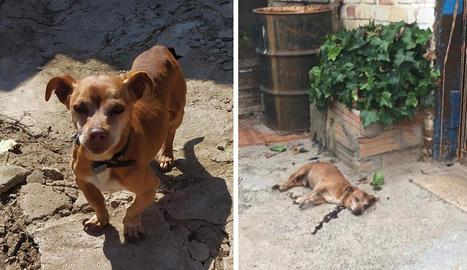 El gos, Rey, de 14 anys, i a la dreta, com el van trobar amb diversos trets divendres passat.