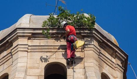 Un dels tècnics retirant ahir la figuera del campanar.