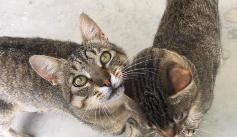 Dos dels 20 gats que estan acollits al CAAC de Lleida.