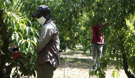 Unió de Pagesos rebutja que es responsabilitzi el sector de la fruita del confinament decretat al Segrià