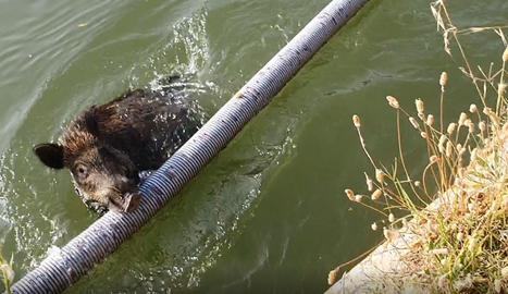 VÍDEO | Salva un porc senglar de morir ofegat al canal d'Urgell