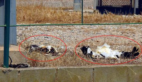 Ipcena denuncia que dues cigonyes han mort electrocutades a la partida Fontanet de Lleida
