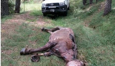 L'animal va ser trobat en un barranc a Guils.