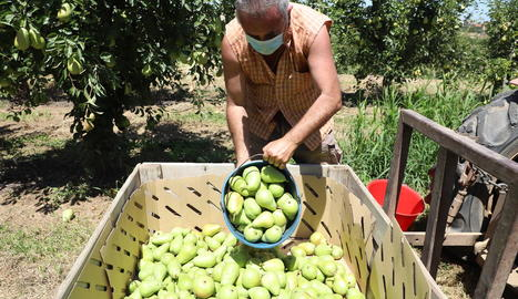 La pera llimonera destaca aquest estiu pels nivells de sucres i calibre.