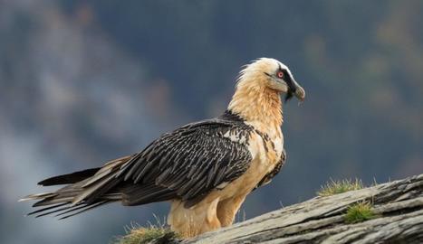 Un exemplar de trencalòs, espècie de voltor que s'alimenta d'ossos i es troba en perill d'extinció a Europa.