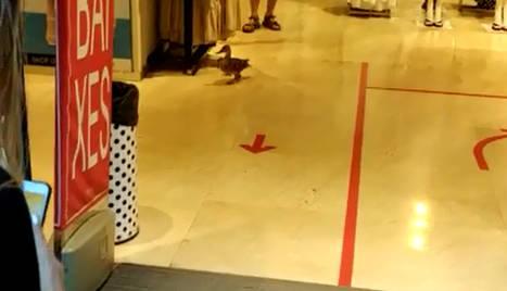 Un dels ànecs, a l'interior d'una botiga de l'Eix.