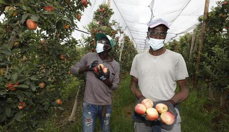 Un temporer en plena campanya de recollida de la poma en una explotació de Golmés.