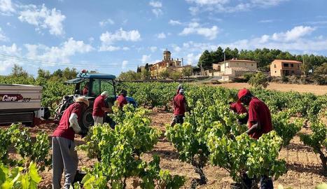 En els últims dies, el grup Tomàs Cusiné ha començat a veremar en finques de Castell del Remei, el Vilosell i la Conca de Barberà.