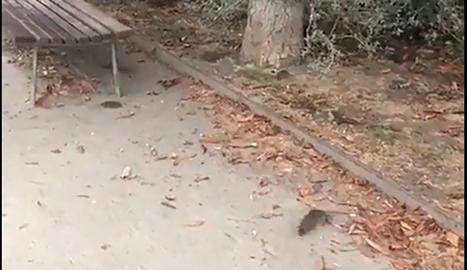 Imatge d'una rata al parc sobre les Vies, ahir.