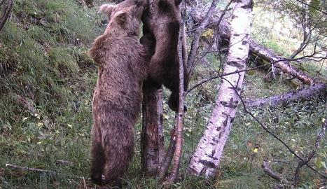 Els primers cadells fotografiats aquest estiu al Pallars.