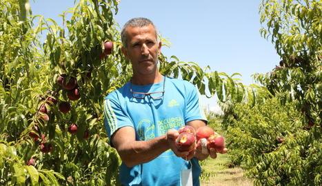 Un productor d'Alcarràs, mostrant al juny els estralls de la pedra en la fruita de pinyol.