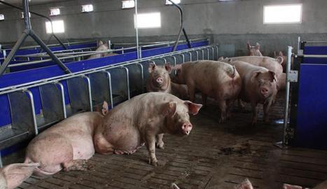 Imatge d'arxiu de l'interior d'una explotació porcina de la demarcació de Lleida.