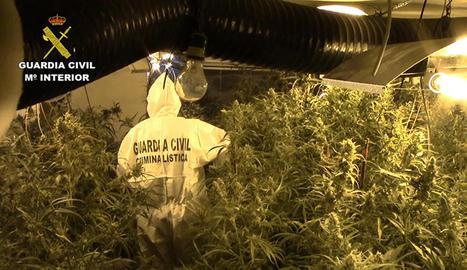 Plantació de marihuana trobada en un domicili de la xarxa a Almacelles.