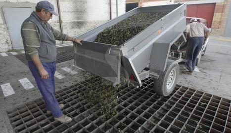 Imatge d'arxiu de la collita d'olives.