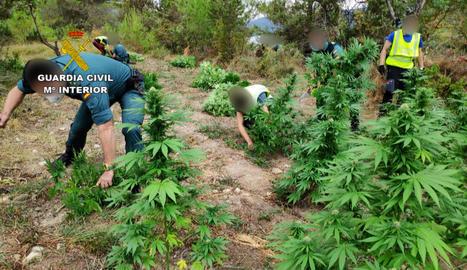 Imatge d'una de les plantacions en la qual van trobar 4.908 plantes.