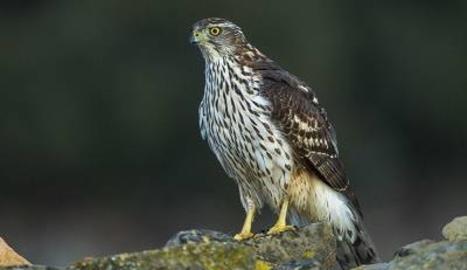Confirmat un cas de virus del Nil Occidental al Segrià en un ocell rapinyaire