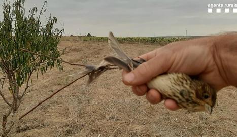 Els denunciats utilitzaven pega per caçar cantaires.