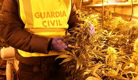 Foto d'arxiu d'un decomís de marihuana a Lleida.