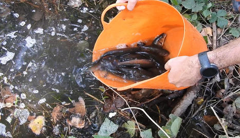 Un moment de l'alliberament de peixos autòctons al riu.