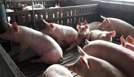 Imatge d'arxiu d'una explotació porcina de Lleida.