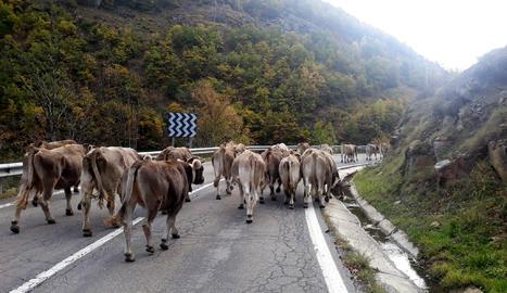 Un ramat de vaques baixant de la muntanya de Lladorre, al Pallars Sobirà, durant el setembre del 2020.