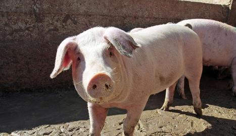 La meta és evitar que la PPA entri a les granges porcines germàniques.