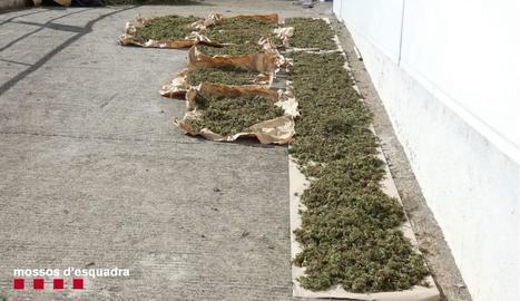 Detingut per cultivar 524 plantes de marihuana en una zona boscosa a l'Alt Urgell